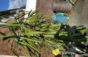 Kwiat Juka wysokosci 2 m