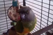 Papuga senegalka